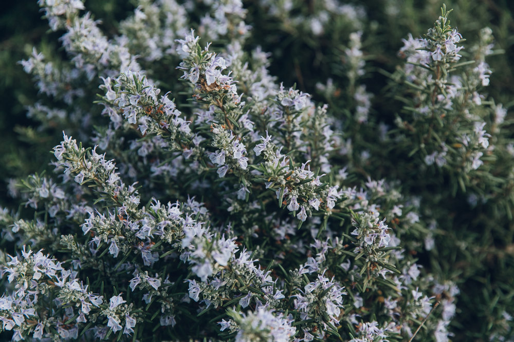 Rosemary flowers in bloom.