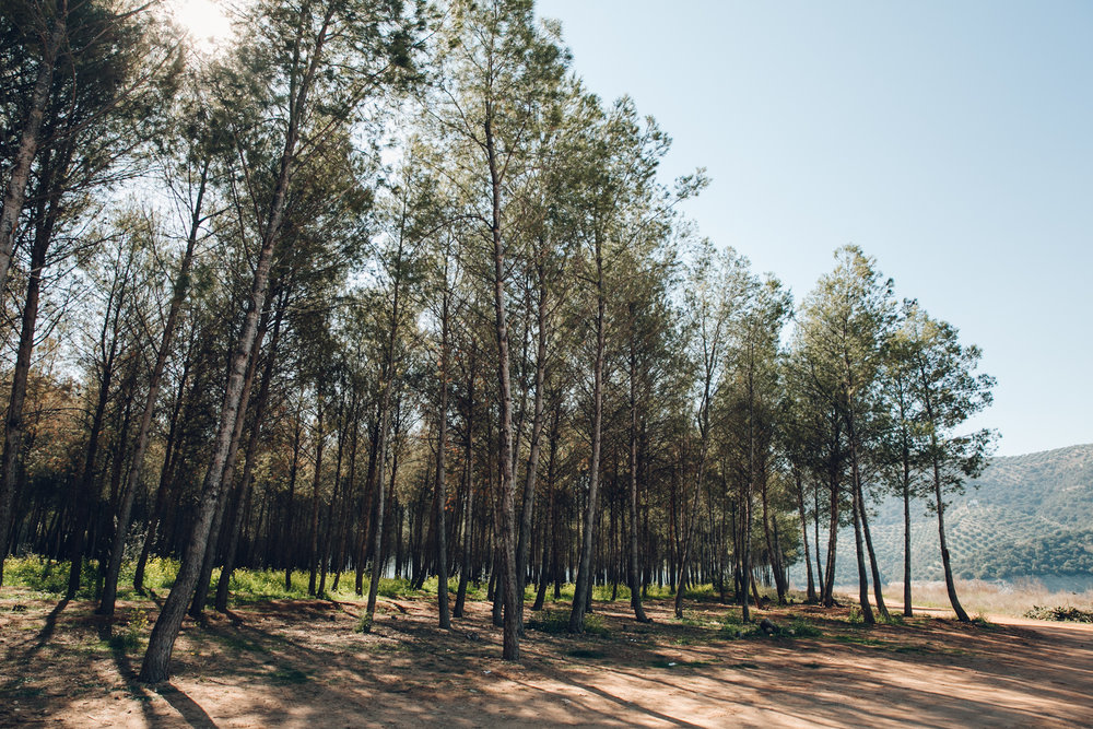 Pine woods on Valdearenas Beach near Lake Iznajar in Andalusia.