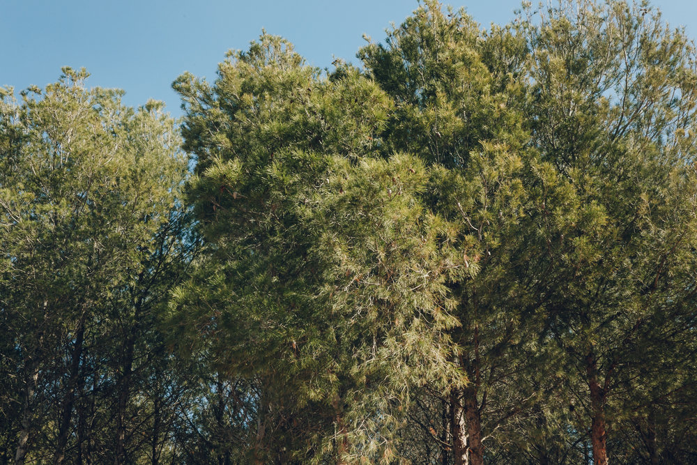Pine woods.