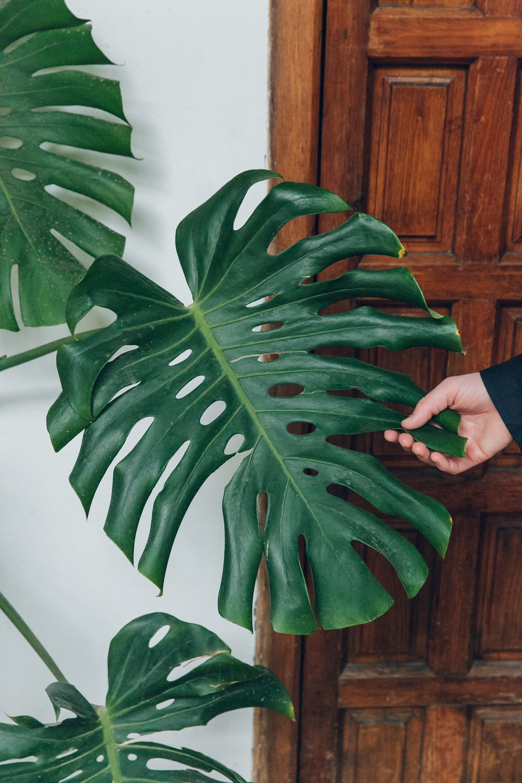 Huge Monstera leaves inside the Palacio de Viana in Cordoba, Andalusia.