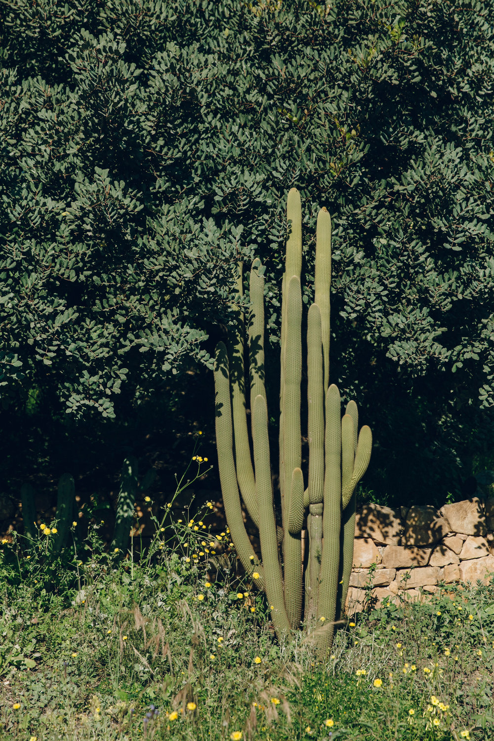 Huge cactus in Malaga Botanical Garden Spain