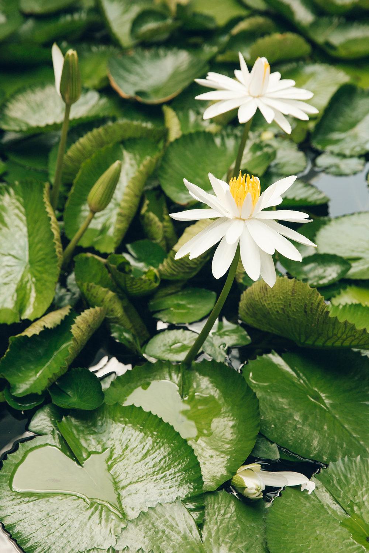 Lotus flower in bloom.