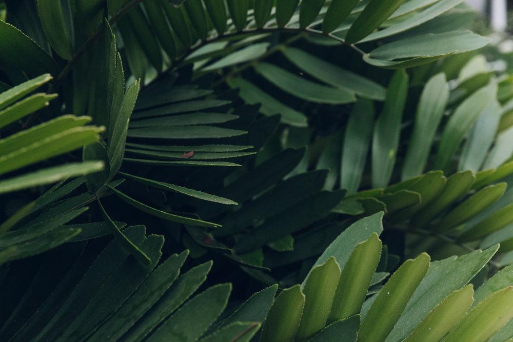 Cardboard plant in a tropical garden.
