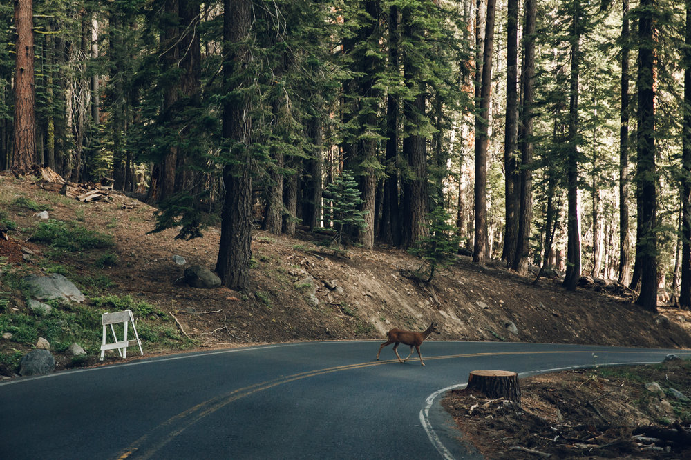 Yosemite National Park California Deer in Road