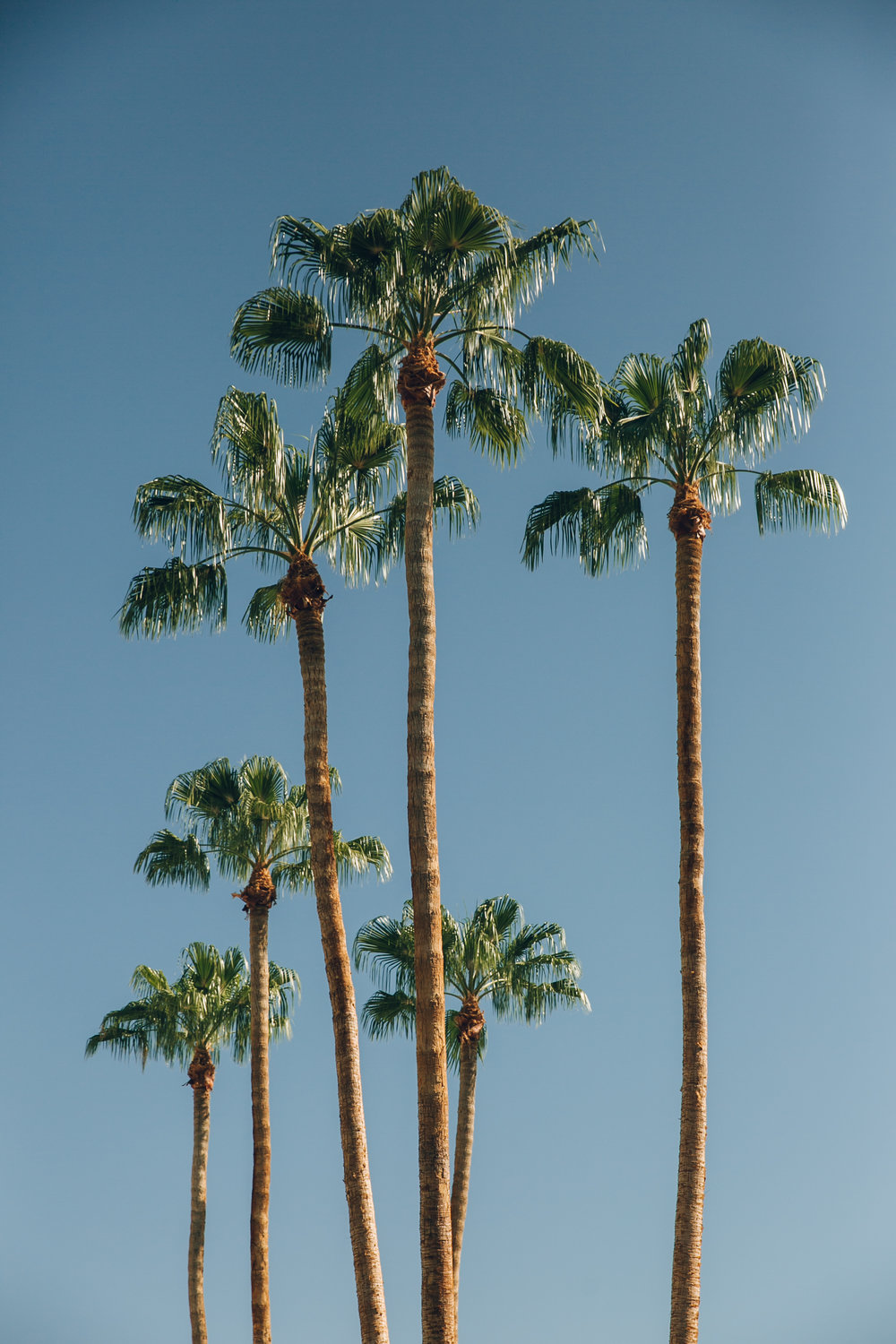 Palm Springs California Tall Palm Trees