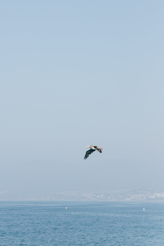 Santa Monica LA California Pelican