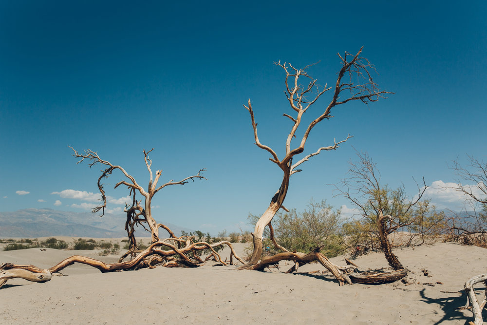 Death Valley National Park Tree