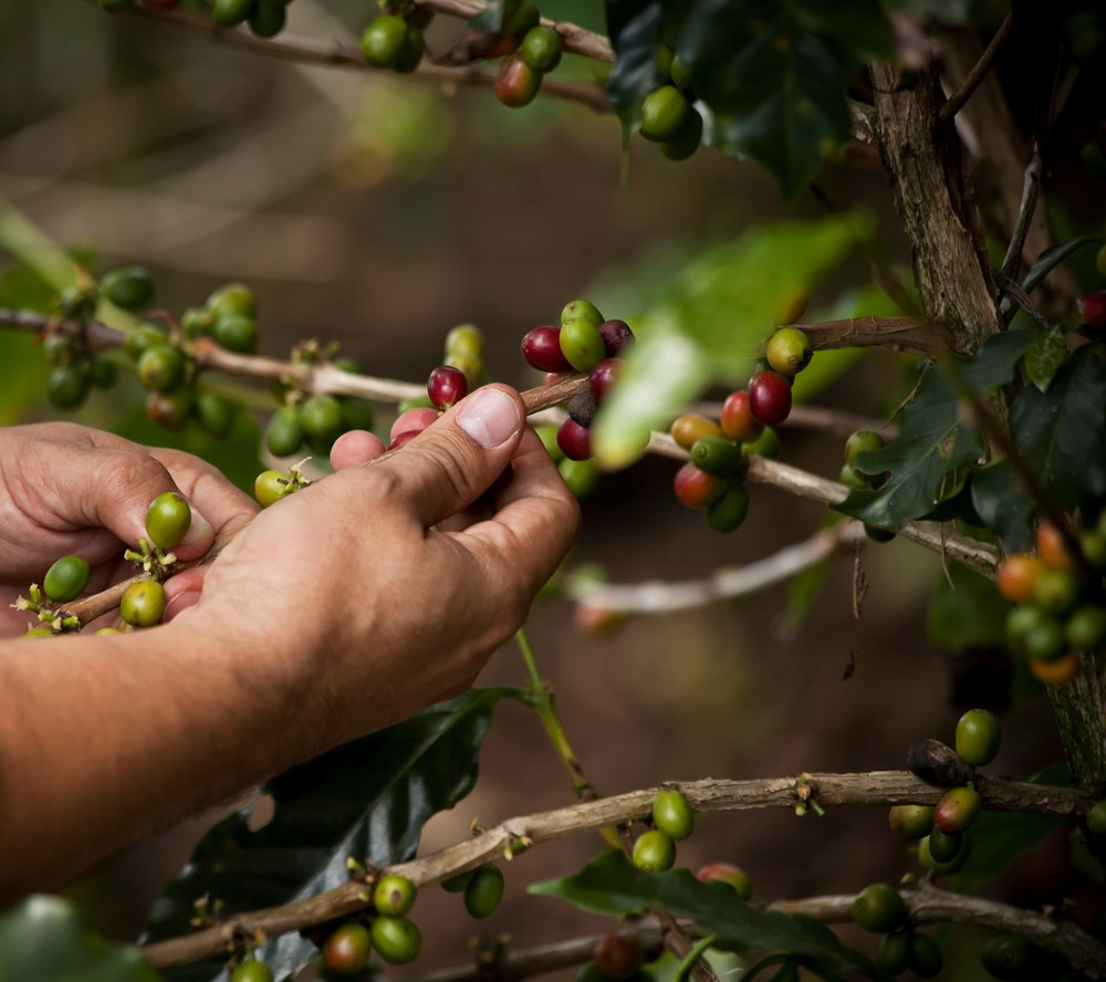 Global Coffee Platform and SAFE alliance - The GCP and Hivos/SAFE have agreed to work together to address some of the main sustainability issues in Latin American coffee producing countries.