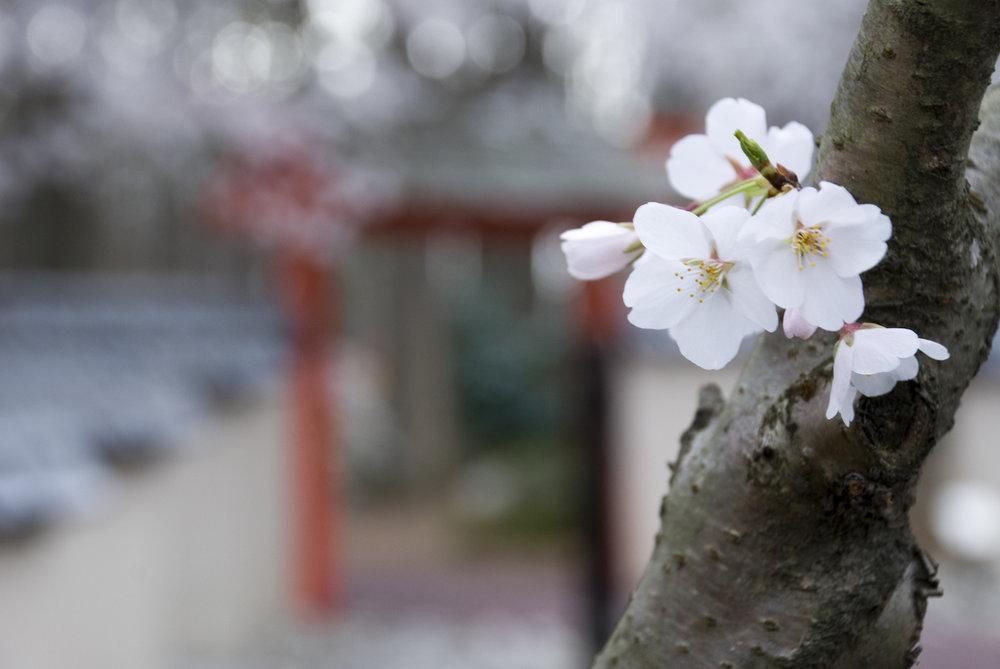 Miyazaki Garden Entrace with Cherry Blossom.jpg