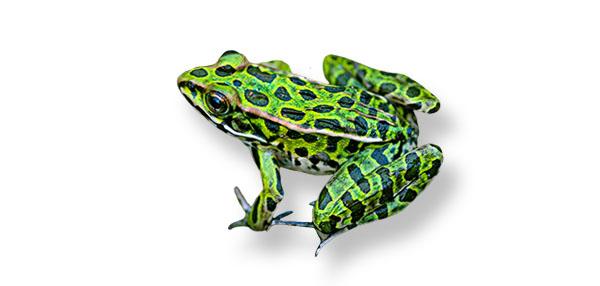 leapordfrog-wide.jpg