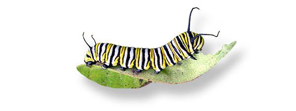 caterpillar-wide.jpg