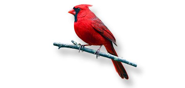 cardinal-wide.jpg