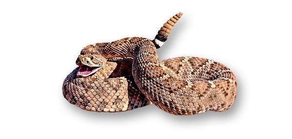 dimondback-rattlesnake-wide.jpg