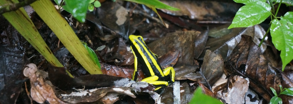 Black and yellow frog