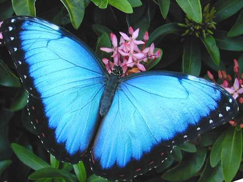 343074,xcitefun-blue-butterflies-amazon-rainforest-brazi.jpg