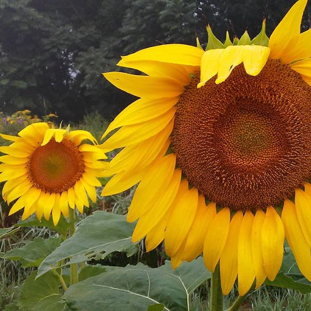 sunflowers copy.jpg