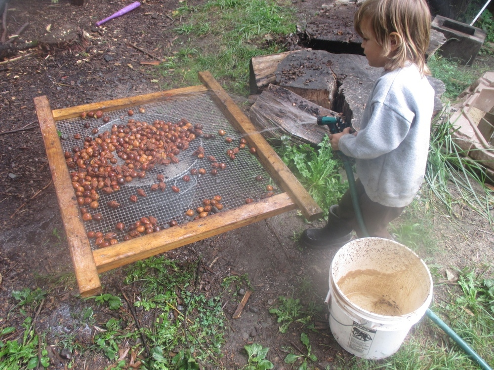After the paint mixer, we hose them down (this picture is a mixture of different Japanese walnuts, but the process is the same for white walnuts).