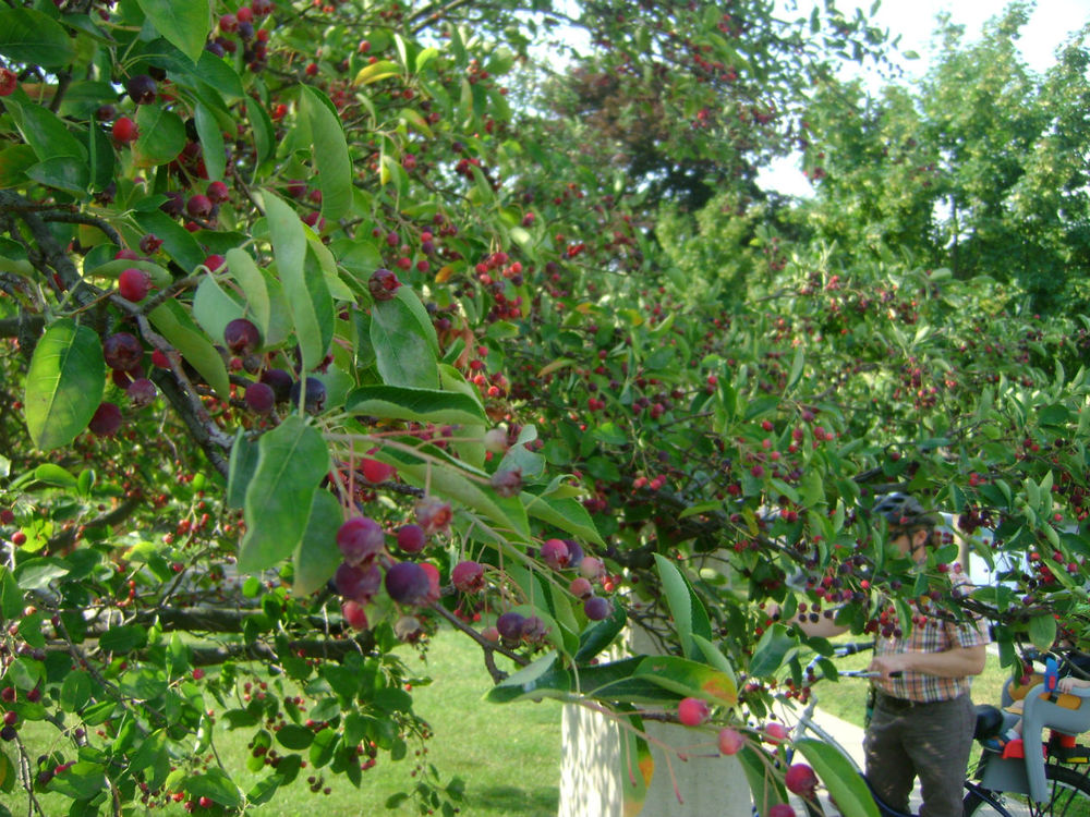 Juneberries/ Serviceberries