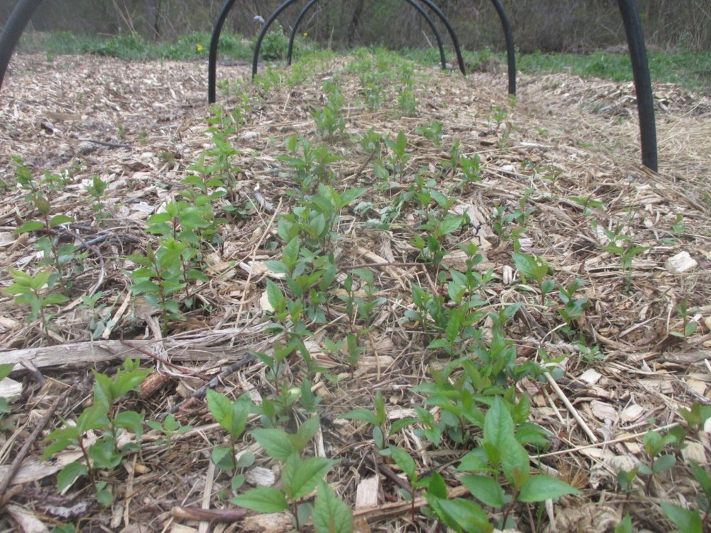 Apple seedlings coming up in a nursery bed here at Twisted Tree Farm.