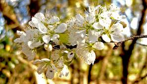 Best smelling flowers ever- American plum