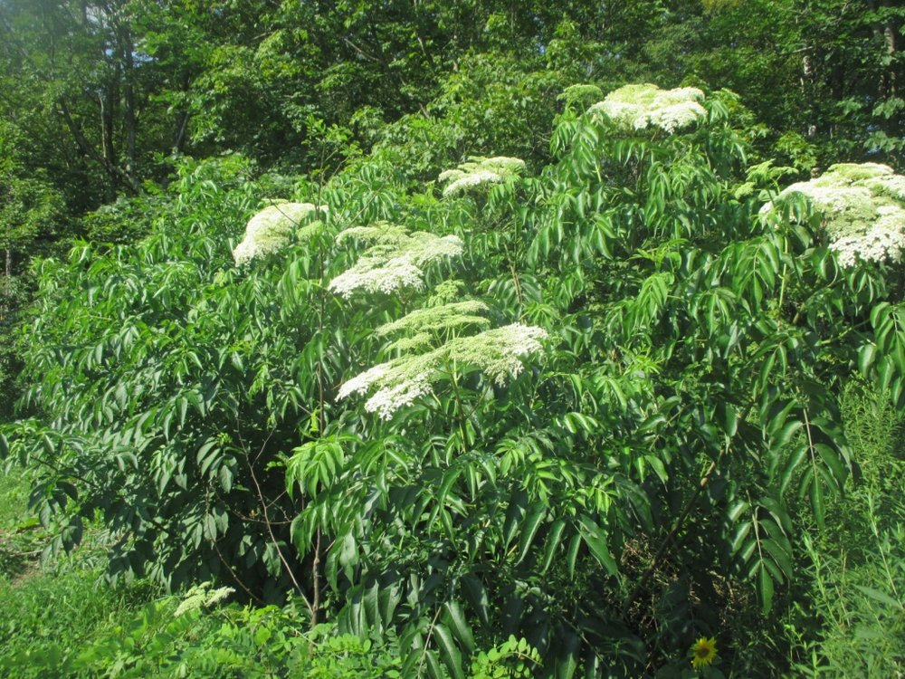 Elderberry stock plants are a joy to have along the nursery edges.