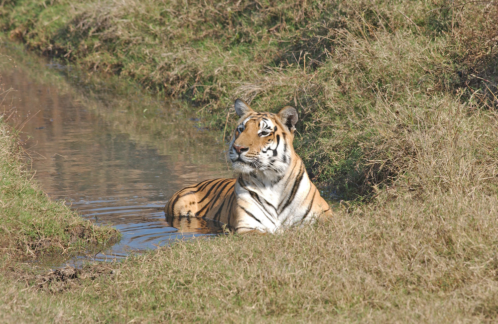India---tiger-and-jungle-cat-031.jpg