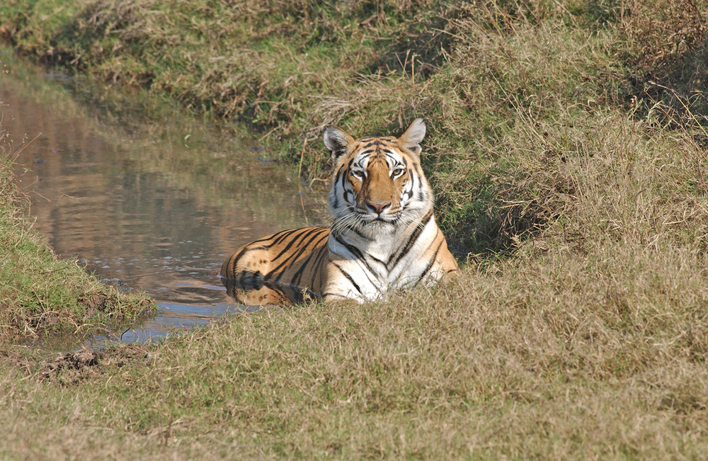 India---tiger-and-jungle-cat-040.jpg