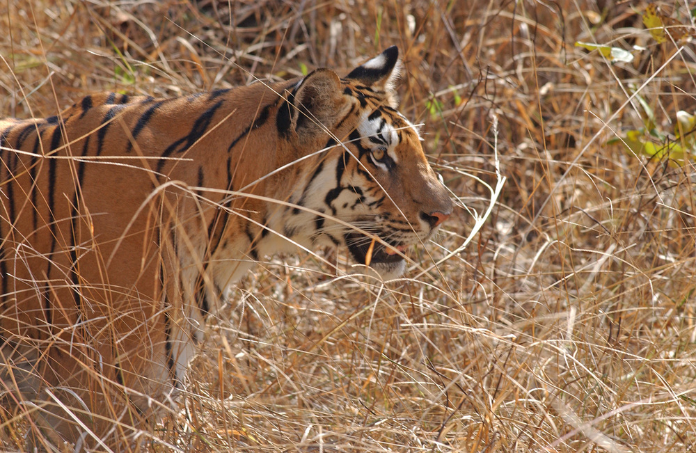 India---tiger-and-jungle-cat-059.jpg