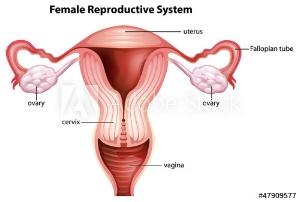 cervix.jpg