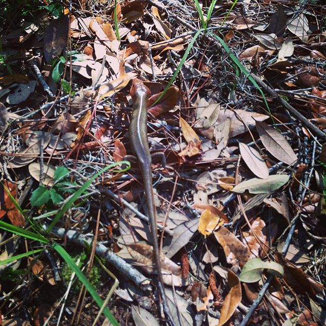 There are a lot of broadhead skinks scooting around the island, and are quite the surprise when they suddenly wriggle out from under your feet! #thisismyga #trails #cumberlandisland