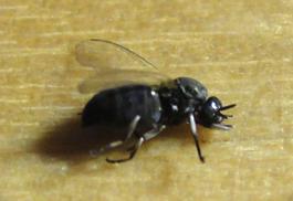 La mouche noire - Mouche jaune et noire ...