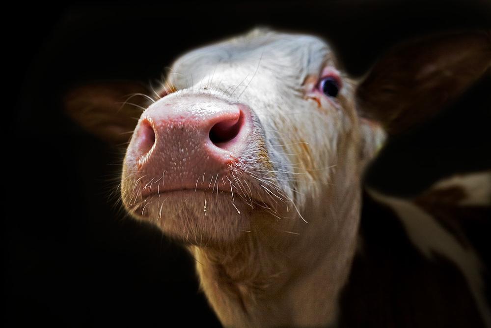 COWS - #2