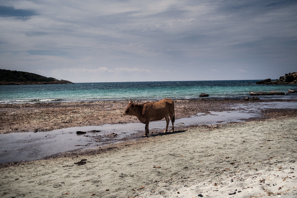Cow on holyday - Somewhere in Sardinia