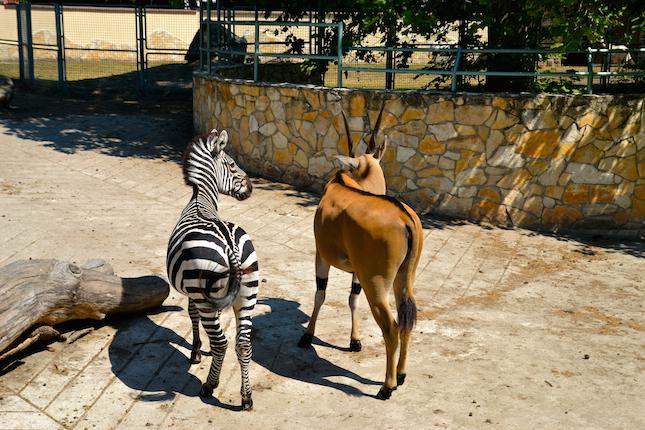 debrecen-ana-tess-zebra.jpg