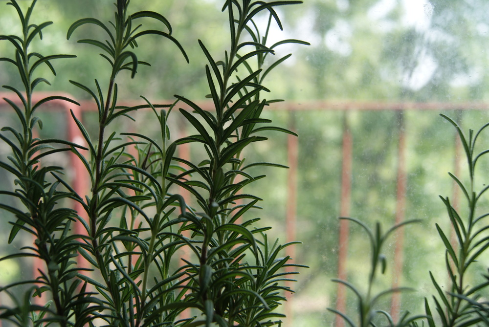 This is our rosemary plant. I recommend such a plant if you want your weird city kitchen to smell fancy.