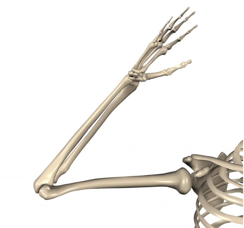 Bones of the Arm