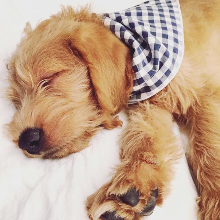Dog_Bandana_Blue_White_Gingham_SUNDAYS_Murphy_Goldendoodle_puppy.JPG