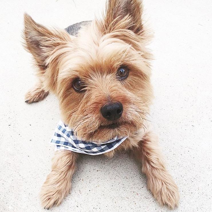 Dog_Bandana_Blue_White_Gingham_SUNDAYS_Yourshire_Terrier_Louie.JPG