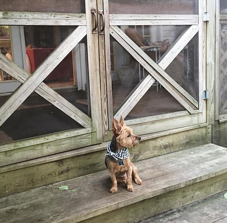 Dog_Bandana_Blue_White_Gingham_SUNDAYS_Yorkshire_Terrier_Cabin.jpg