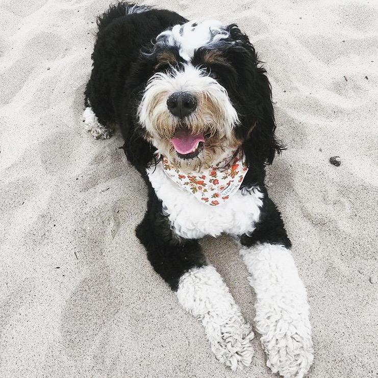Dog_Bandana_White_Floral_Print_SUNDAYS_Bernedoodle_Beach.JPG