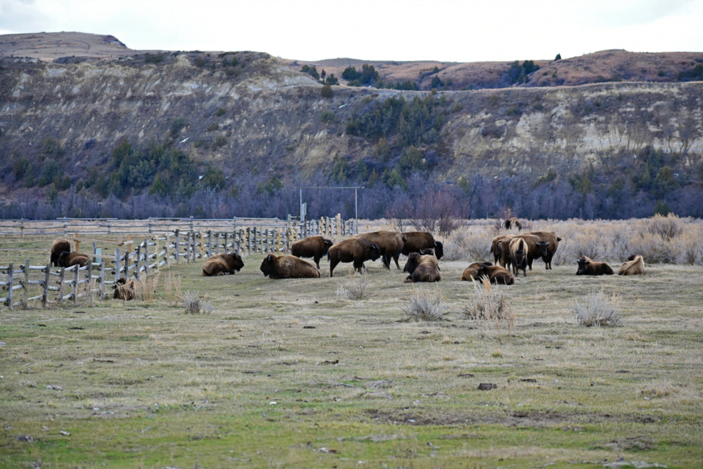 Bison at the Peace Valley Ranch by Jen Wyckoff