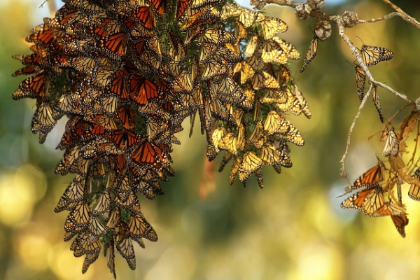 Monarch migration. Photo courtesy of  Sandy/Chuck Harris  on flickr