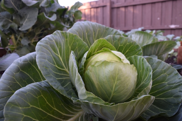 Ahh, the glorious cabbage plant. Generous, low-maintenance, tasty and beautiful. Who could ask for more? This one is happily growing in my veggie bed at home.