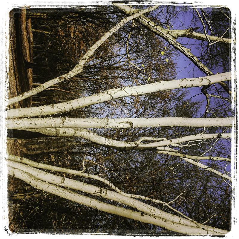 183 5295 White Birch tendrils 7.5.jpg