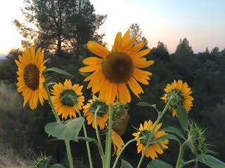 sunflower 2 2016.jpg