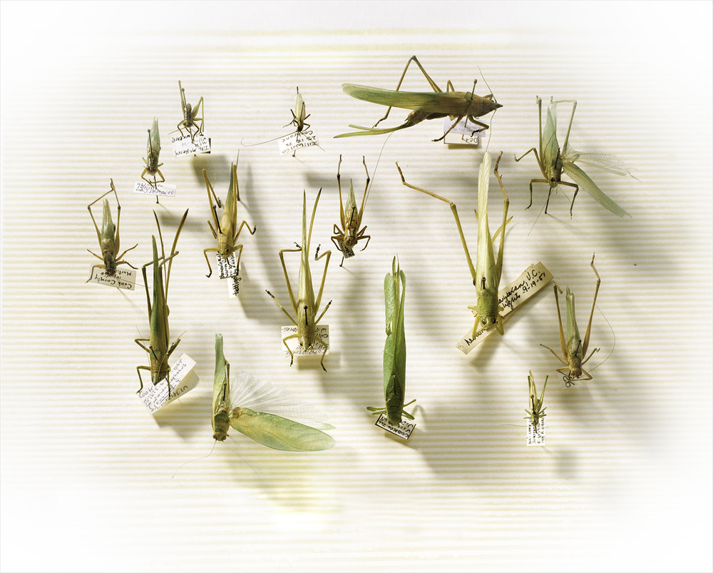 Dr. Greenebrg's Grasshoppers