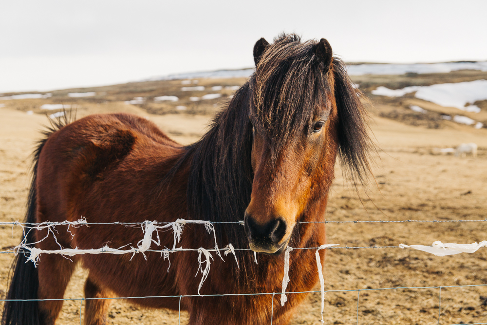 The friendly Icelandic horse