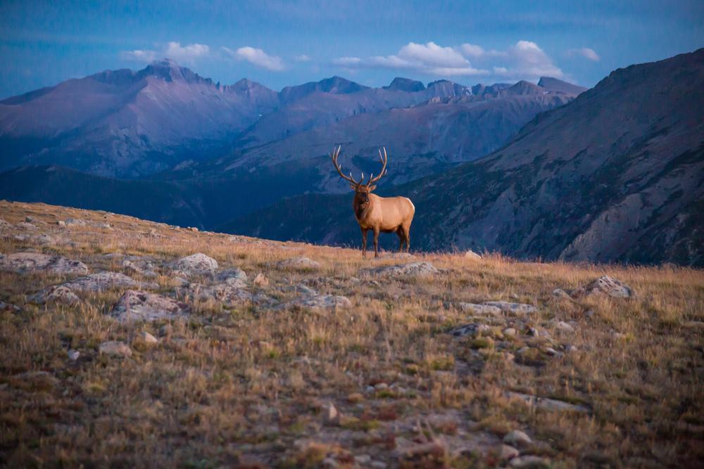 Colorado Elk www.thetravelpockets.com