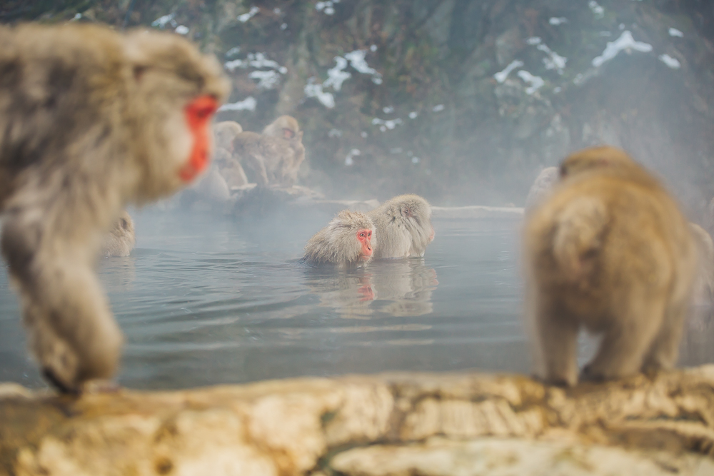 Snow monkeys taking a bath in the hot spring