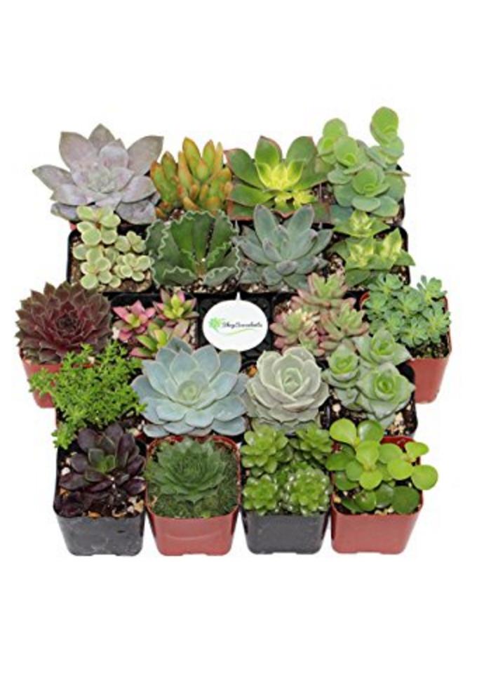 Unique Succulent (Collection of 20)